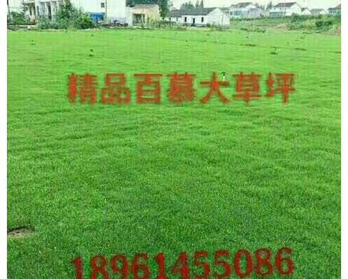 供应黑麦草混播草坪