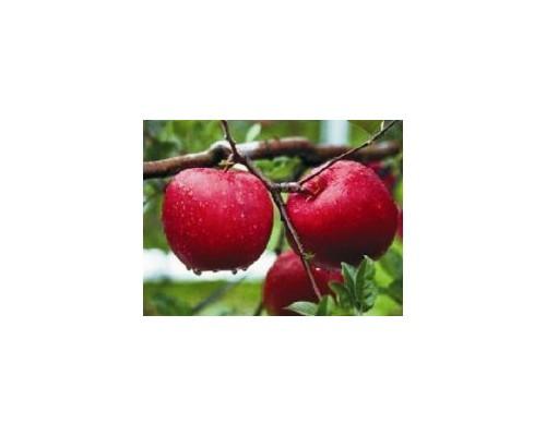 苹果乔化、矮化苗100万株(有烟富8号、烟富10号、蜜脆等)