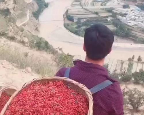 出售大红袍花椒树苗