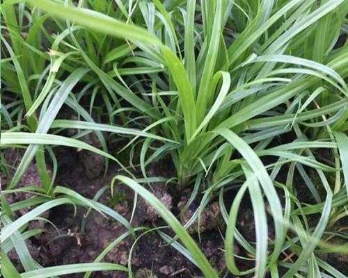为何北方都选用青绿苔草做草坪绿化苗木