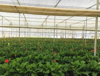 滇、泸检验测试中心合作开展云南非洲菊鲜切花产品质量抽检