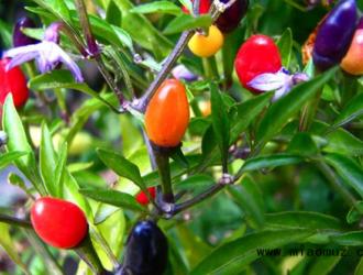 盆栽小辣椒养护方法有哪些