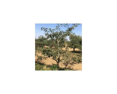 占地果树 处理果树 7--8公分山楂树价格
