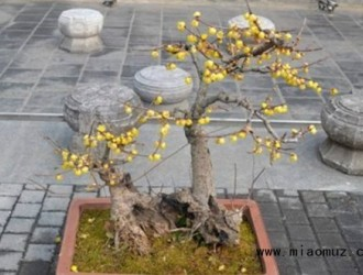 了解盆栽腊梅用土注意事项