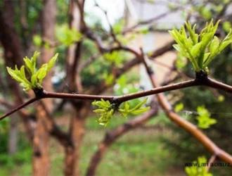 枣树冬剪有哪些技巧呢