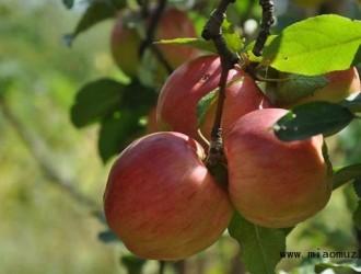 探讨晚熟苹果采收后果园管理