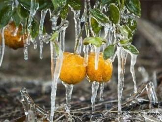 柑橘越冬妨害的注意事项