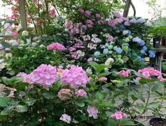 入冬绣球花的养护方法介绍