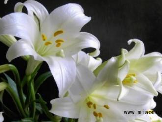 百合花品种与作用简单介绍