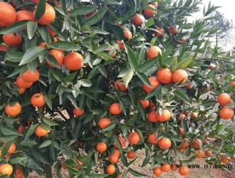柑橘嫁接的技巧和方法介绍