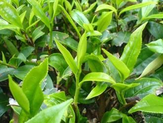 吉安推行林长制做大做强茶产业
