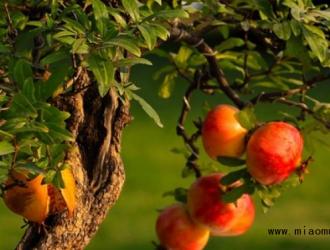 盆栽石榴的养殖方法介绍