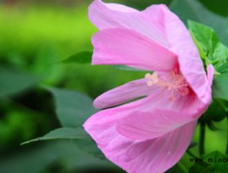 芙蓉葵的养护方法介绍