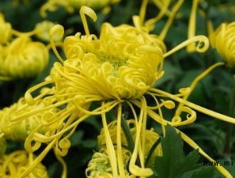 药用菊花的采收与加工技术