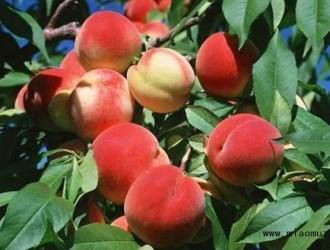 水蜜桃怎么种植能够高产