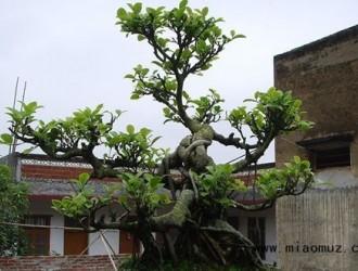 榕树盆景的修剪修枝技巧
