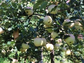 苹果花芽分化期有哪些管理方法