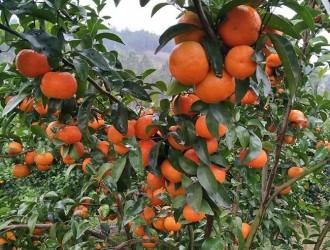 砂糖橘种植管理方法详解
