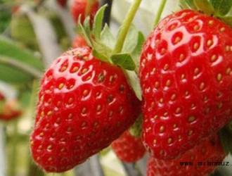 草莓不同花期的管理方法介绍