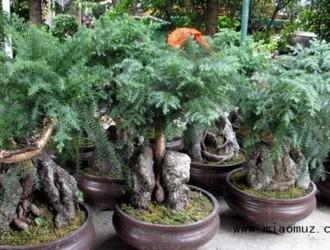 澳洲杉盆景的修剪方法与操作