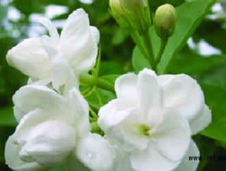 盆栽茉莉怎么养的茂盛