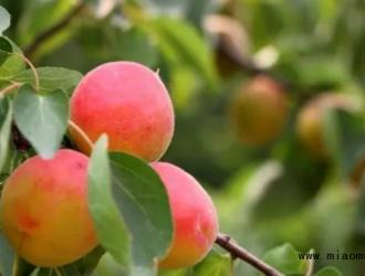 高产杏需要掌握的种植技巧