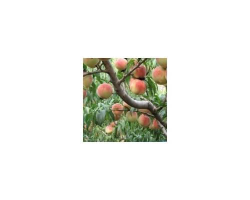 出售3公分桃树 5公分桃树 8公分桃树