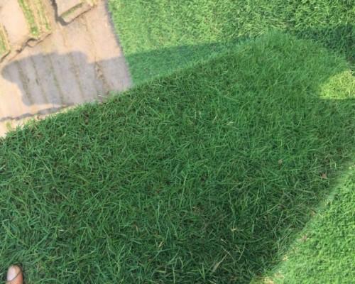 黑麦草混播,四季青草坪基地大量供应电话15961543375