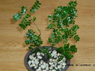 清香木盆景的制作方法和要点