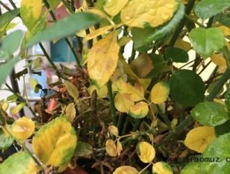 月季花叶子发黄怎么办