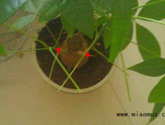 小发财树怎么修剪枝叶