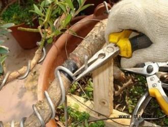 金银花的修剪方法介绍